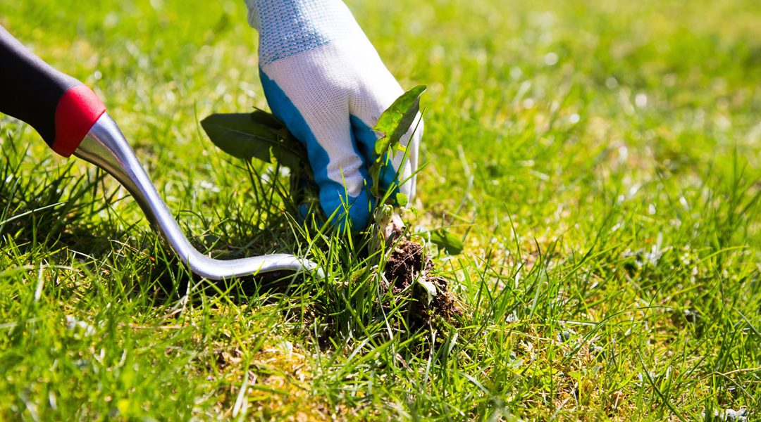 control weeds in your new lawn
